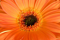 Gerber Daisy from Front