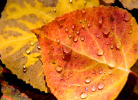Red and Gold Aspen Leaf with Rain Drops